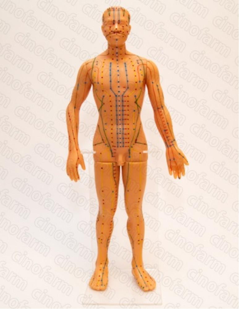 Муляж тела человека (на подставке)